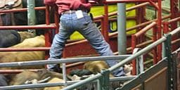 Think competitors like Jordan have a challenge? Imagine being the helper getting the bulls ready to be ridden. Don't slip! (Photo credit: Julie/Wikimedia Commons)