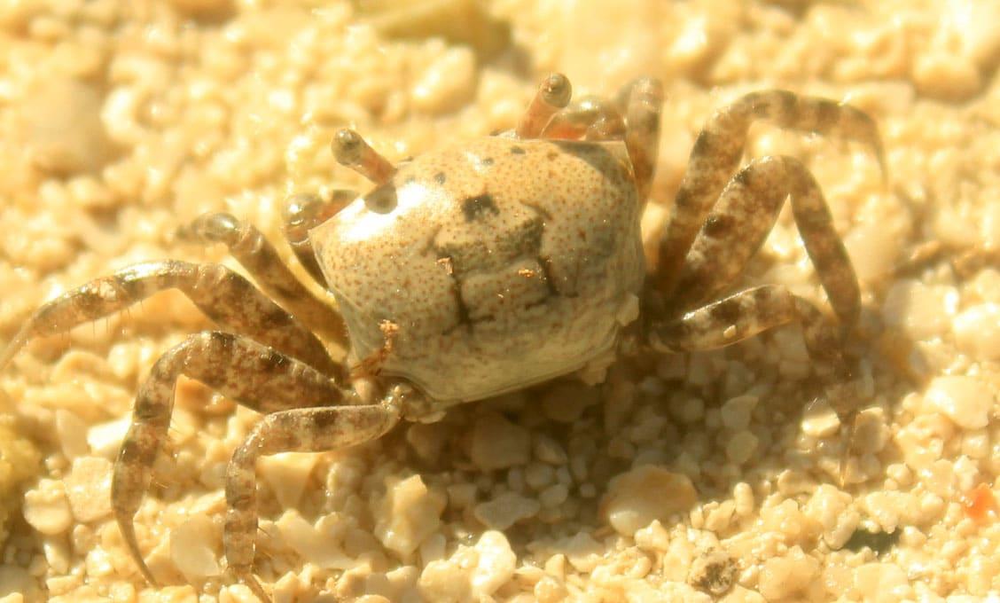 ghost crab behavior