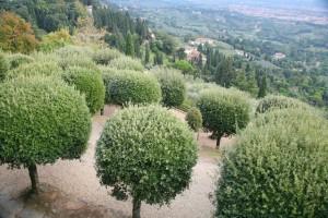 Olive trees in Italy. (Photo credit: Maja Piskorska/freeimages.com)